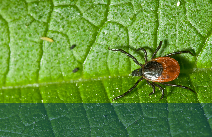 tick on a green leaf